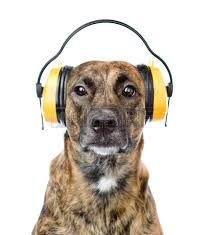 Dog with ear defenders